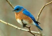 E Bluebird in tree